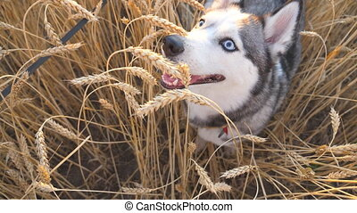 Portrait of young siberian husky sitting among tall...