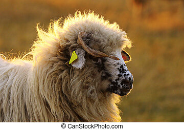 portrait of young white ram