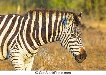 Portrait of Zembra - Portrait of zebra, Burchell's Zebra the...