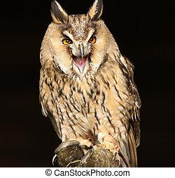 Portrait og a Long Eared Owl screeching