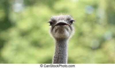 Portrait  Ostrich  - Portrait of Ostrich