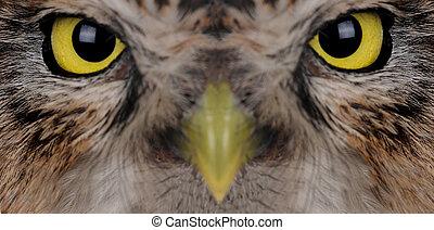 portrait owl - portrait brownie horned owl on a white...