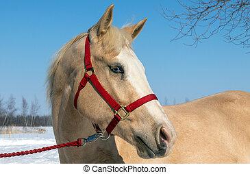 portrait palomino male horse outside in winter season - ...