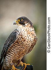 portrait, peregrine faucon