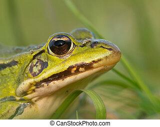 Portrait Pool frog
