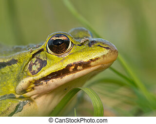 Portrait Pool frog