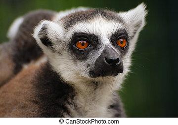 Portrait popular monkey lemur catta