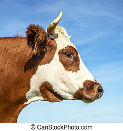 Portrait profil of a cow head with horns, breed of cow cattle called: blaarkop, fleckvieh, blister head.