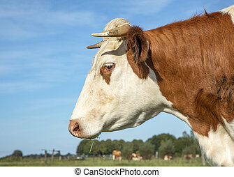 Portrait profil of a cow head with horns, breed of cow cattle called: blaarkop, fleckvieh