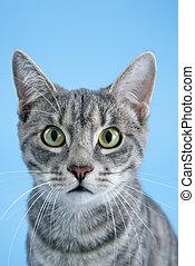 portrait, rayé, cat., gris