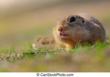 Portrait rodent in grass