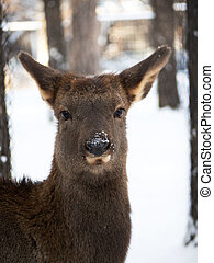 Portrait Roe deer of winter among trees. Snow on the nose.