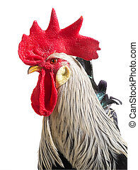 portrait rooster isolated on white