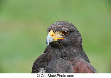 Portrait shot of Harris hawk (Parabuteo unicinctus).