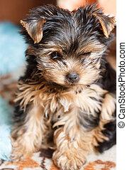 Portrait Small Yorkshire Terrier Puppy