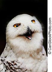 Portrait snowy owl with open beak