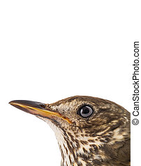 portrait Song thrush isolated on a white background.