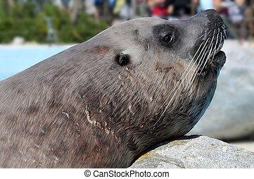 Portrait Steller Sea Lion