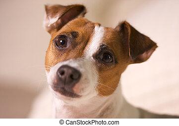 portrait, terrier, jack russell