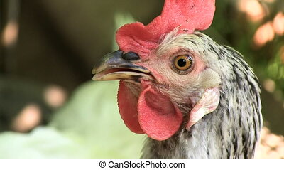 Portrait The hen looks at the camera and breathes heavily from the heat Enable audio track