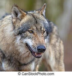 portrait, threathening, loup, gris