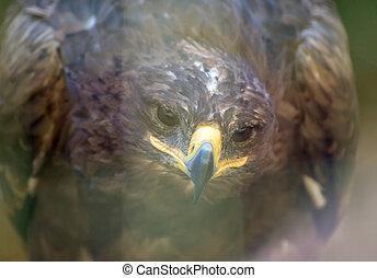 Portrait view of steppe eagle.