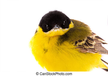 portrait wagtail  isolated on a white background  in studio shot