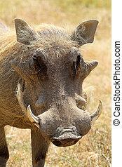 portrait, warthog