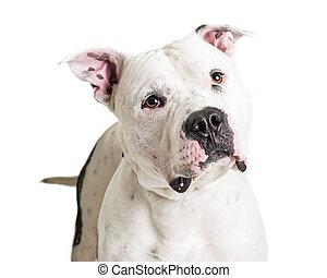 Portrait White Pit Bull Terrier Dog