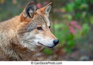 Portrait wolf in autumn forest