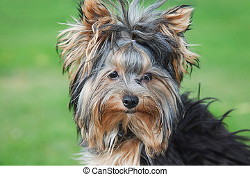 portrait yorkshire terrier close in sunny summer day at...