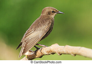 portrait young black starling sits on a branch