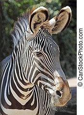 portrait, zebra, commun