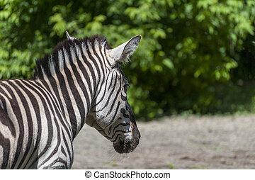 portrait, zebra