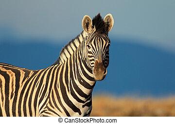 portrait, zebra, plaines