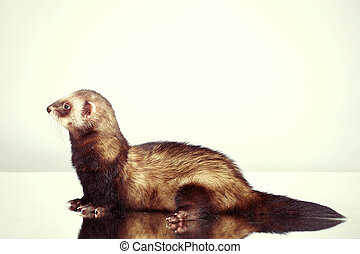 Portraiting of ferret male in studio