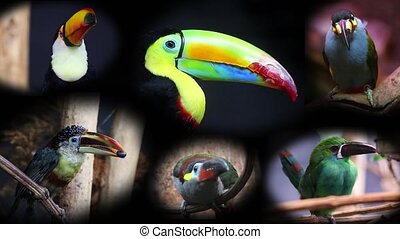 Collage With Beautiful Colorful Toucans - 4K Video
