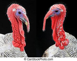 turkey-cocks