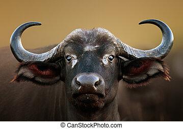 portret, bawół, krowa, afrykanin