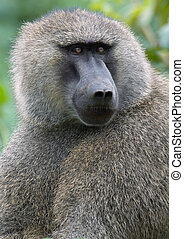 Portret from an Olive Baboon