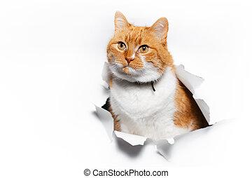portret, hole., kot, biały, papier, porwany, przez, szczelnie-do góry, czerwony