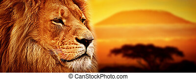 portret, lew, savanna., safari