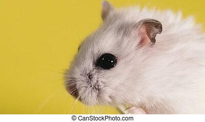 portret, makro, strzelony., chomik, rodents., close-up.