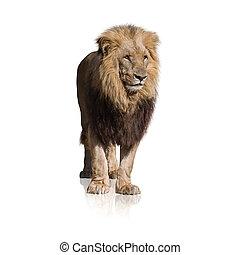 portret, od, dziki, lew