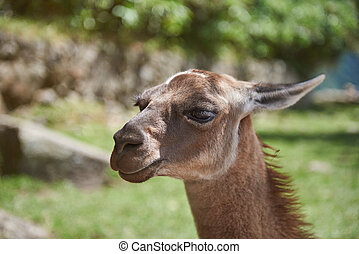 portret, od, lama, zwierzę