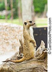 portret, od, meerkat
