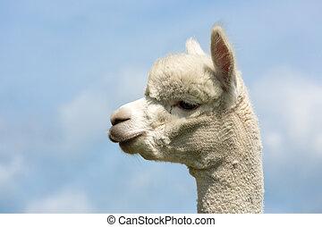 portret, od, niejaki, peruwiański, alpaka, w, niejaki, holenderski, zwierzę, park