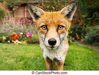 portret, od, niejaki, sprytny, czerwony lis, w ogrodzie, pełny, od, flowers., miejski, wildlife.