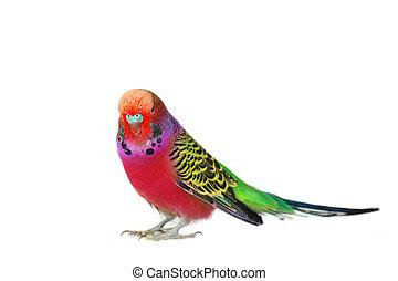portret, od, papużka falista