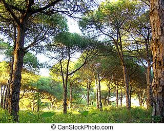 portugués, bosque de árbol, pino